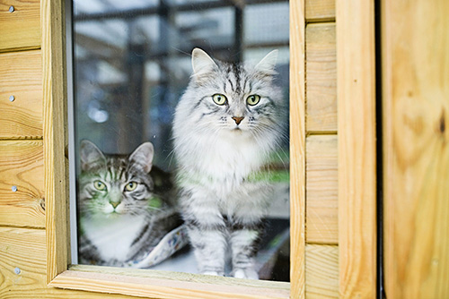 Molly and Rocky Enjoying Their Cattery Stay In Mobberley